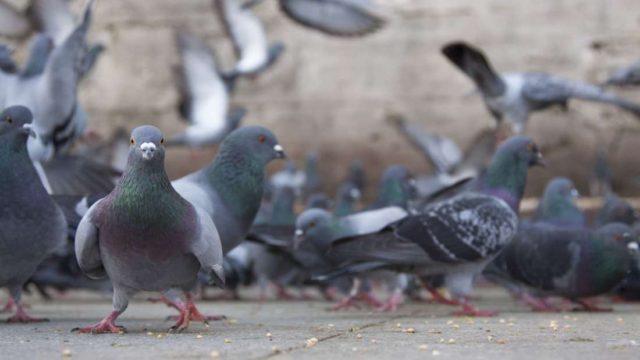 pigeons-e1552895255102.jpg