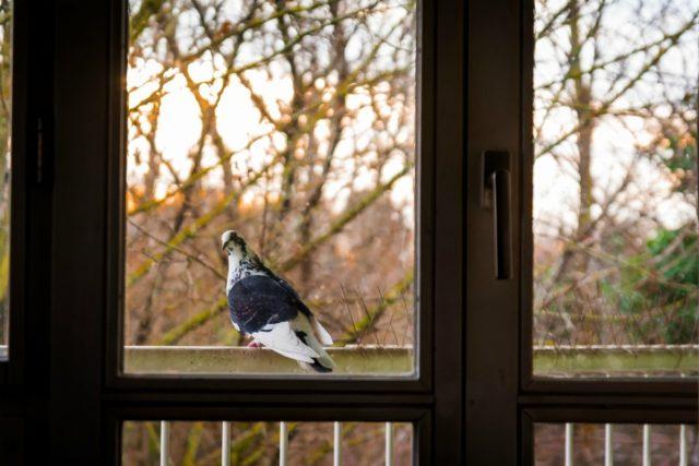 pigeon3-e1552895291590.jpg