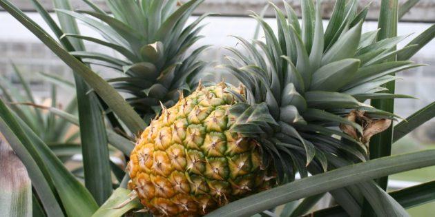 kak-vyrastit-ananas-doma-iz-verhushki-11_1566302282-e1566302306634-630x315.jpg