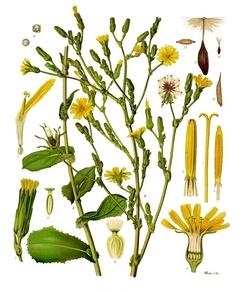 im244-Lactuca_virosa_-_K%C3%B6hler%E2%80%93s_Medizinal-Pflanzen-213.jpg