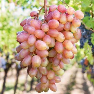 vinograd-ubileynyy1.jpg