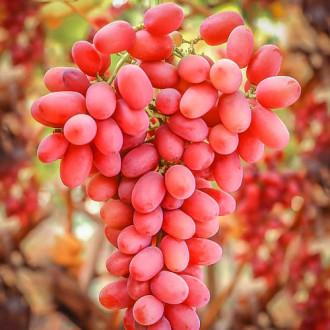 vinograd-king-rubi2.jpg