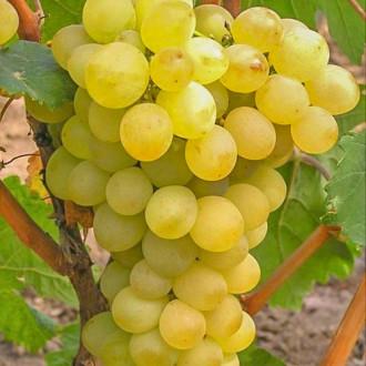 vinograd-triumf2.jpg