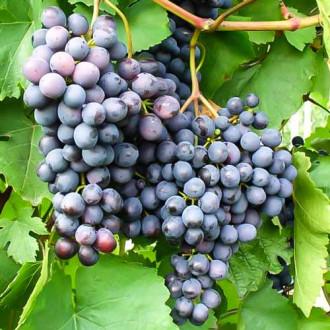 vinograd-ametistovyy1.jpg