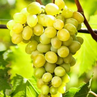 vinograd-avgustin6.jpg