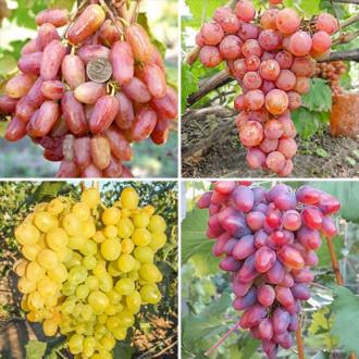 superpredlojenie-komplekt-vinograda-superranniy-iz-4-sajencev-set5.jpg