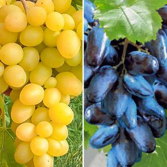 superpredlojenie-komplekt-vinograda-giganty-iz-4-sajencev-set3.jpg