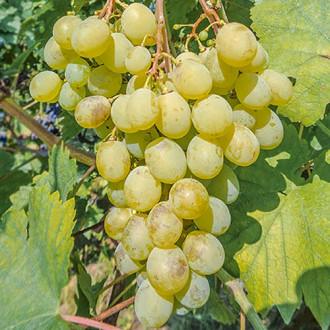vinograd-muskat-belyy5.jpg