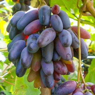 vinograd-kishmish-chernyy-palec3.jpg