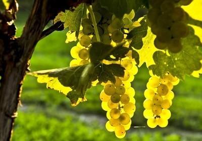 raznoobraznye-sorta-vinograda-1_1-400x280.jpg