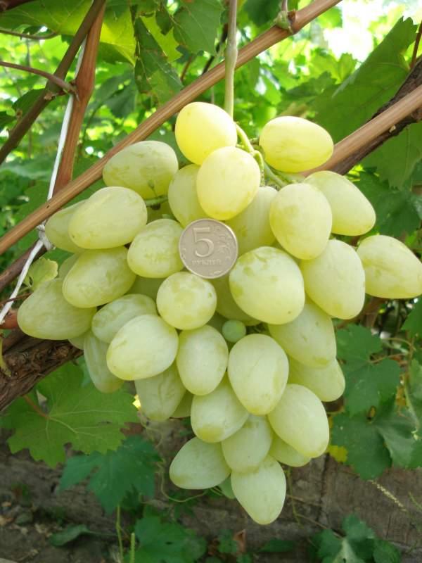 Vinograd-Tajfi.jpeg