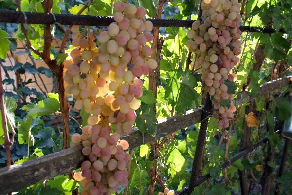 vinograd-tayfi-opisanie-gde-rastet-belyy-i-rozovyy-sort.jpg