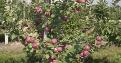 Яблоня Орлик – 8 особенностей сорта и советы по посадке и уходу