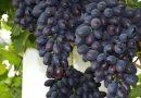 Виноград Кодрянка описание сорта фото