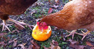 Шесть способов отучить кур отпоедания яиц