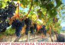 Виноград Темпранильо – характеристика сорта и уход