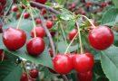 Вишня Щедрая: описание и характеристики сорта, посадка и уход