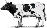 Определяем вес быка без весов несколькими способами + таблица измерения КРС: рассказываем все нюансы