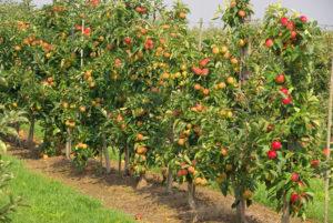 Инструкция по посадке подвоя для яблони