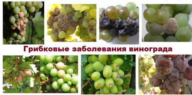gnil-vinograda-e1519585100269.jpg