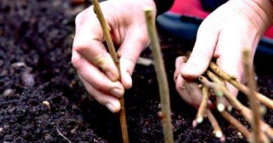 Размножение смородины делением куста и отводками