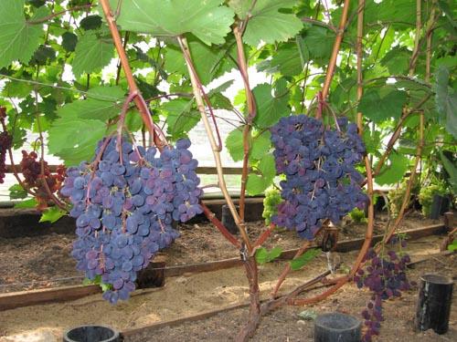 Vinograd-Kishmish-Zaporozhskij-kak-vyrastit-na-dache.jpg