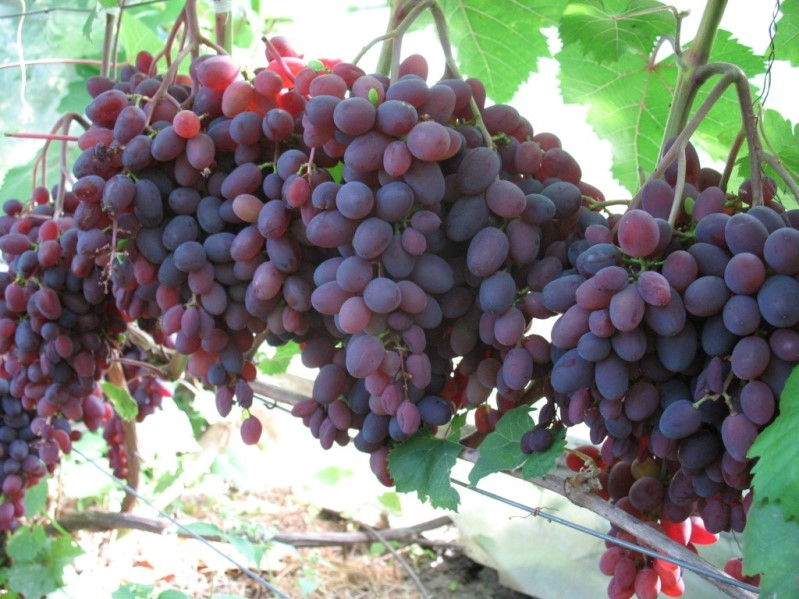Vinograd-Kishmish-Zaporozhskij-osnovnye-harakternye-priznaki.jpg