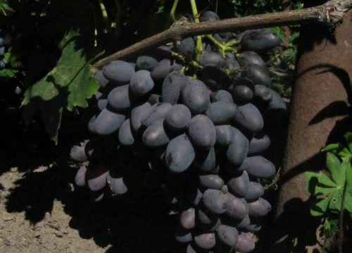 vinograd_karmen_2_28135912.jpg