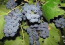 Описание и характеристики сорта винограда Молдова или Черный принц и ухода за культурой
