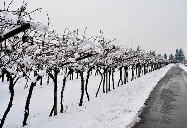Na-zimu-vinograd-sorta-Pino-Nuar-ukryvaetsya-tolko-v-zonah-s-holodnymi-zimami.jpg