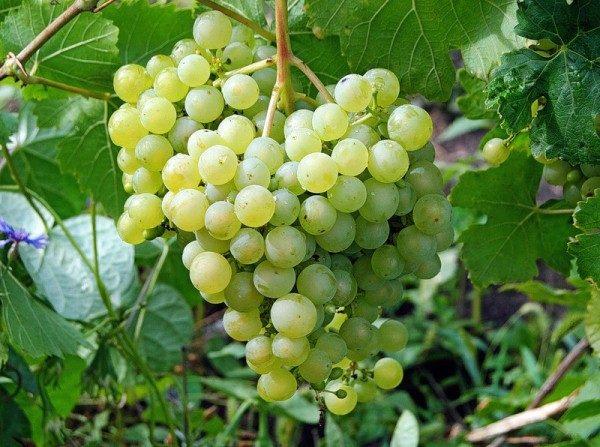 Vinograd-sort-Aleshen-kin-600x447.jpg