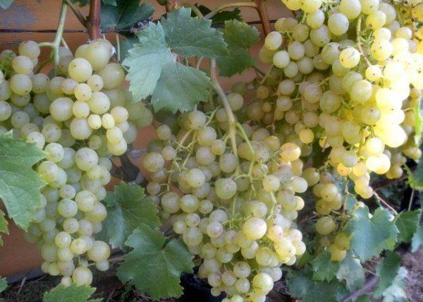 Vinograd-Tukaj-600x428.jpg