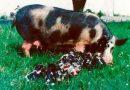 Мясные породы свиней — описание и породы поросят