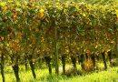Формирование куста винограда: как правильно формировать виноградную лозу — схемы