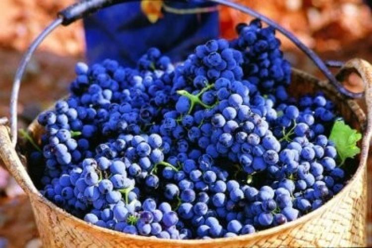Шираз (или Сира) виноград - Сорта винограда, Винные