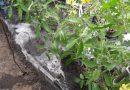 Правильный полив помидоров в теплице — как часто поливать томаты во время цветения, плодоношения