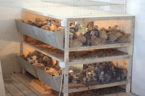 Клетки для цыплят: требования к ним и как изготовить самостоятельно